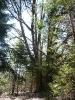 Medžiai - gamtos paminklai